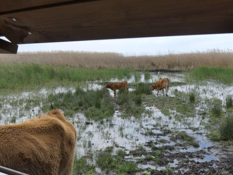 Αγελάδες στον βάλτο
