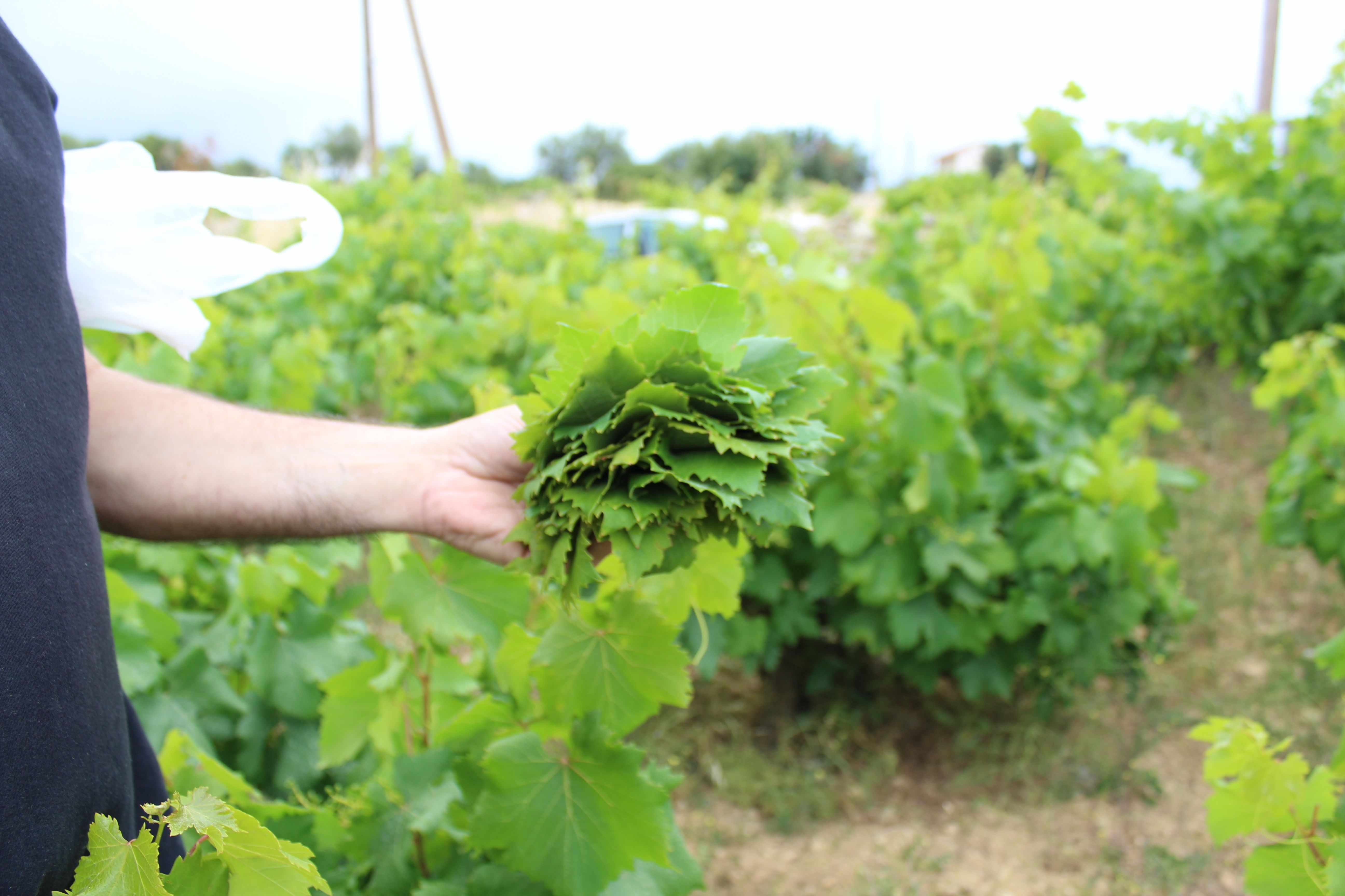 How to harvest and prepare vine leaves.