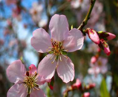 Blossomed almond tree