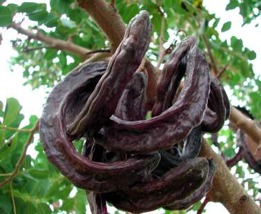 7th Annual Carob Festival in Pegeia