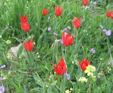 "The Polemi village of Pafos is preparing for ""The Annual Festival of the Wild Tulip 2018""..."