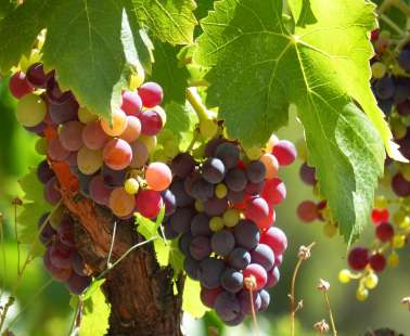 2nd Vine Harvest Festival of Panagia village